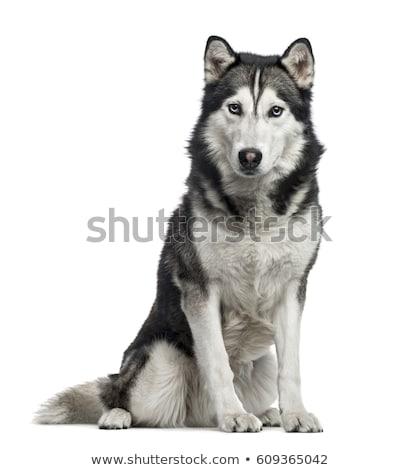 Husky jóvenes perro negro nieve retrato Foto stock © silense
