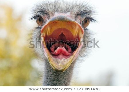 Homme autruche oiseau noir longtemps Photo stock © fouroaks