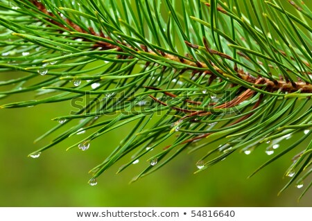pine needles with water drops stock photo © ankarb