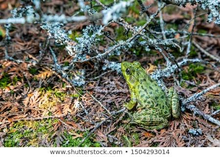 Béka erdő Ontario Kanada természet zöld Stock fotó © bmonteny