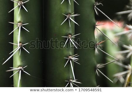 Cactus spikes Stock photo © emattil