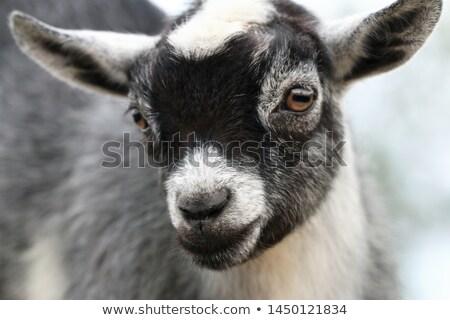 pygmy goat stock photo © chris2766