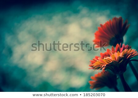 Beautiful Orange Chrysanthemum on dark blue with selective focus Stock photo © rojoimages