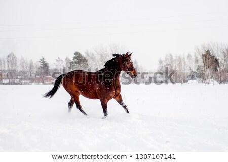 Beauty Brown Horse Stock photo © zhekos