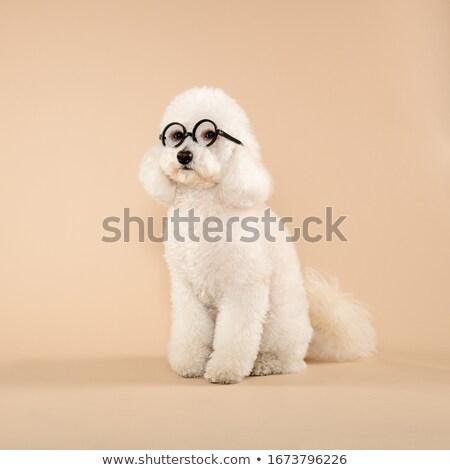 пудель очки белый собака животного Сток-фото © cynoclub