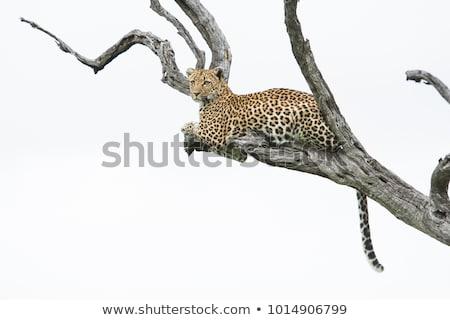 leopárd · bokrok · park · Dél-Afrika · állatok · fotózás - stock fotó © simoneeman