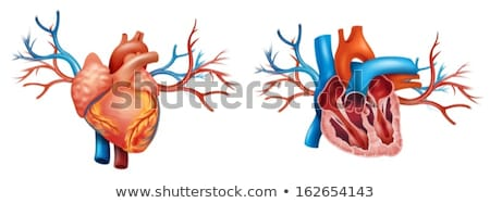 Interior and Anterior Anatomy of the heart Stock photo © bluering