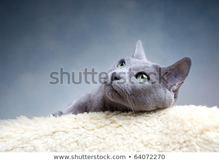 Beautiful cat with blue and green eyes lying in the studio Stock photo © vauvau