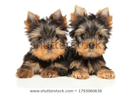 Stock photo: Yorkshire Terrier lying in white studio background