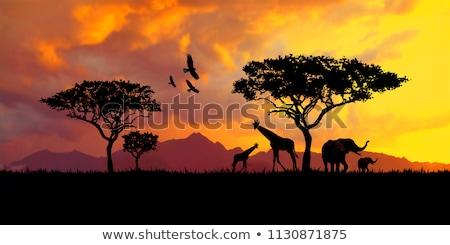 silhouettes of giraffes on african sunset   savanna stock photo © gomixer