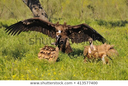 griffon vulture in the meadow of extremadura stock photo © asturianu