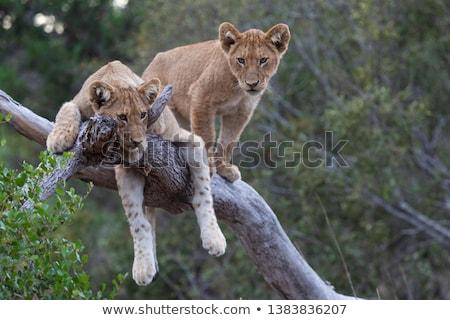 Oroszlán medvebocs alszik fű park Dél-Afrika Stock fotó © simoneeman