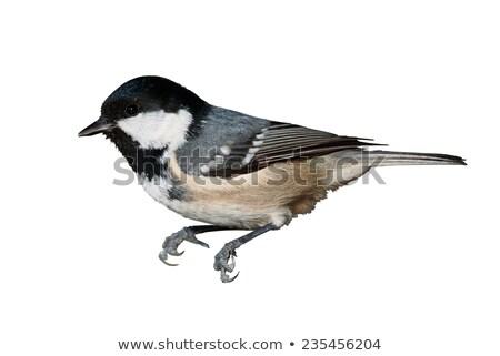 Isolado carvão teta branco fundo pássaro Foto stock © taviphoto
