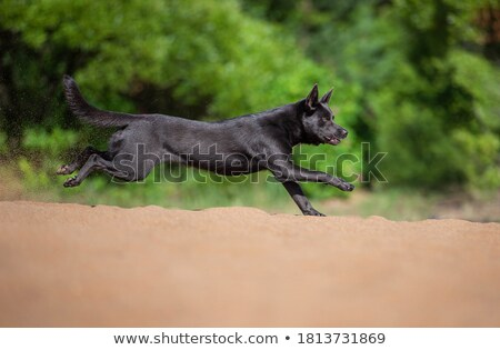 Black Australian Kelpie Stock photo © sherjaca