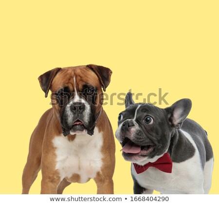 cute elegant boxer dog wearing red bowtie Stock photo © feedough
