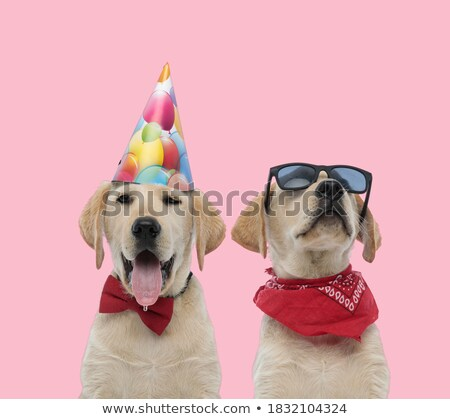 Fej zihálás labrador születésnap kalap felfelé néz Stock fotó © feedough