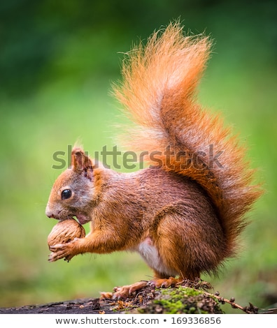 grey squirrel eating nut in the park stock photo © taviphoto