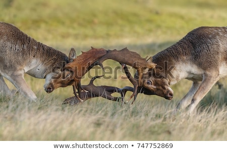 fallow deer bucks fighting in mating season stock photo © taviphoto