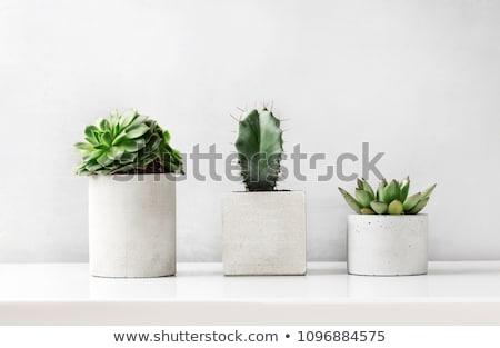Kaktusz növény virágcserép fa asztal felső kilátás Stock fotó © karandaev