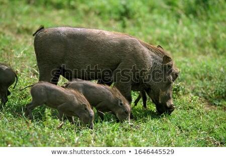 Group of Warthogs eating grass. stock photo © simoneeman