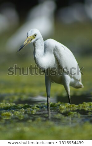 緑 鷺 狩猟 餌食 沼 ストックフォト © brm1949