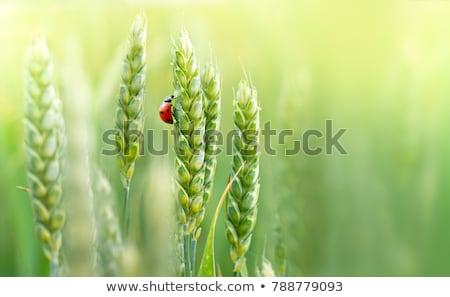 fiatal · zöld · növény · katicabogár · fehér · fű - stock fotó © artspace