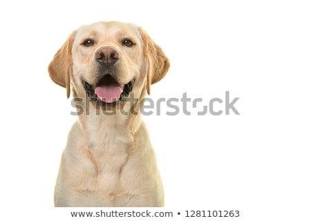 labrador · faccia · cute · piccolo · nero · guardando - foto d'archivio © feedough