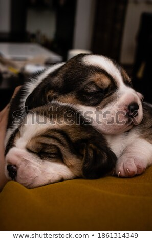 closeup of a little beagle stock photo © feedough