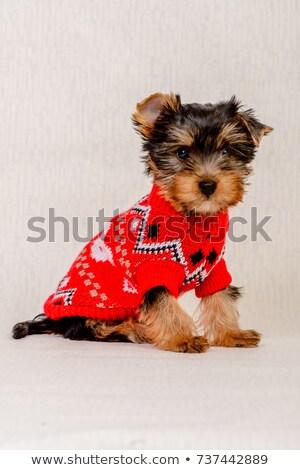 Yorkshire Terrier in sweater stock photo © ozaiachin