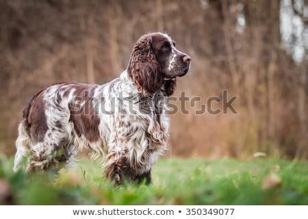 Photo stock: Chien · fond · studio · animal · isolé · brun