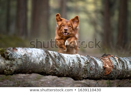 Nova Scotia Duck Tolling Retriever puppy Stock photo © eriklam