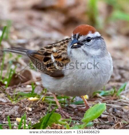 воробей птица семени землю Сток-фото © ca2hill