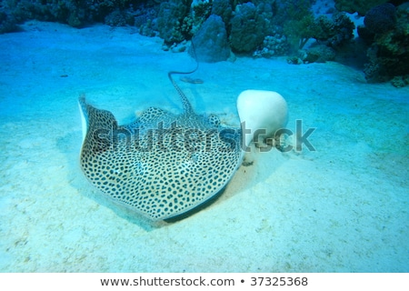 Stock fotó: Darkspotted Stingray Himantura Uarnak In The Red Sea