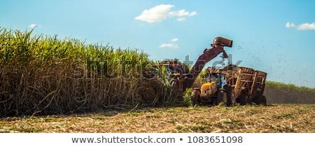 sugarcane harvesting Stock photo © prill