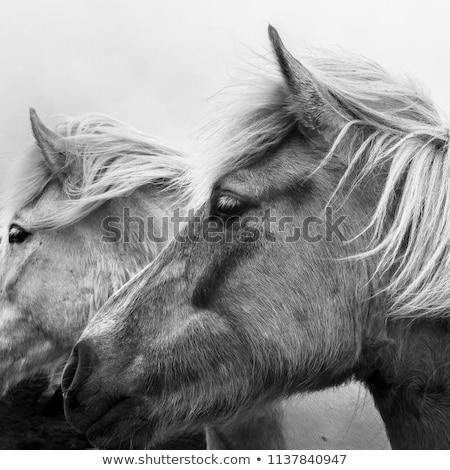 poney · écurie · portrait · brun · Homme · lumière - photo stock © hofmeester