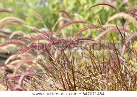 Long grass swaying in the breeze Stock photo © jayfish