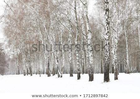 huş · ağacı · katman · kar · ahşap - stok fotoğraf © fanfo