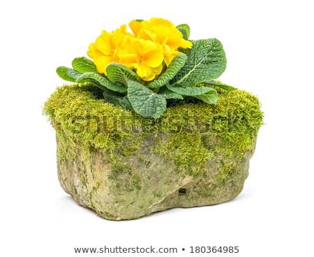 Amarelo prímula flor flores pedra vintage Foto stock © Zerbor