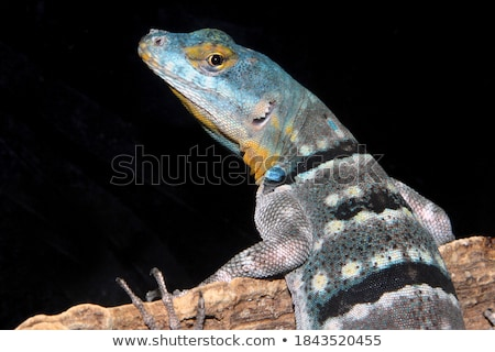 lizard on rock Stock photo © clearviewstock