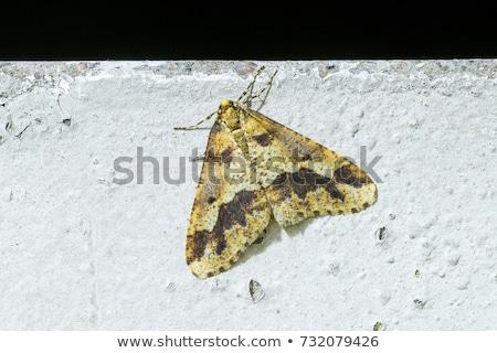 Stock photo: Mottled Umber Erannis Defoliaria