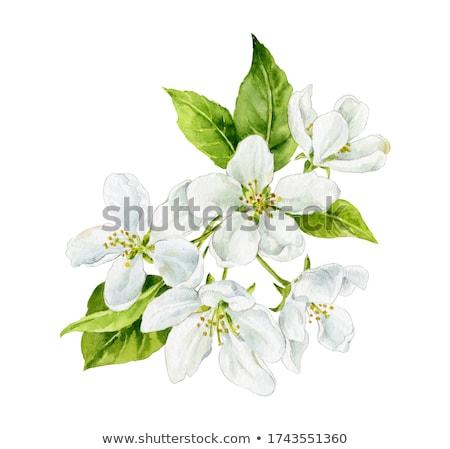Armut çiçekler beyaz çiçekler taze yeşil bahar Stok fotoğraf © Pietus