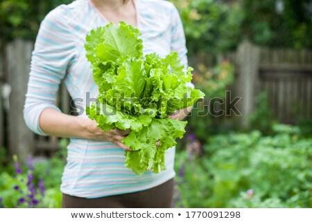 Marul bahçe yaprak salata sebze taze Stok fotoğraf © sundaemorning