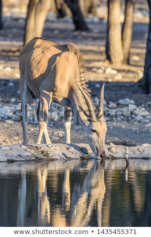 Common Eland at a Watering Hole  Stock photo © wildnerdpix