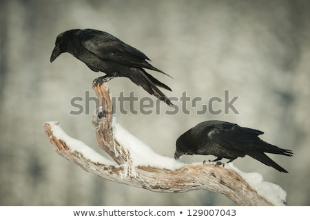 common raven looking down from a tree stock photo © wildnerdpix