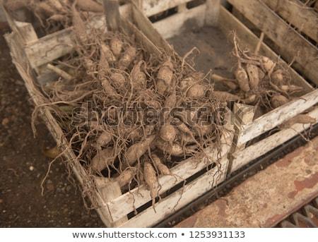 dahlia · mooie · roze · bloem · blad - stockfoto © ivonnewierink