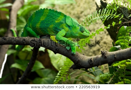 lagarto · escalada · ramo · colorido · secar · isolado - foto stock © amok