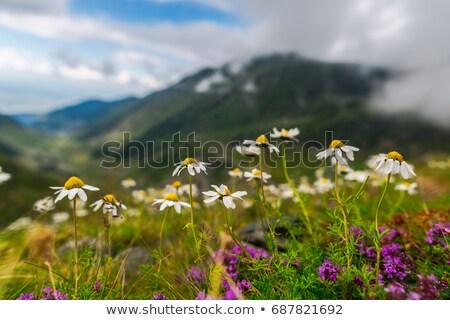 Photo stock: Fleurs · sauvages · montagne · Roumanie · fleurs · forêt · fond