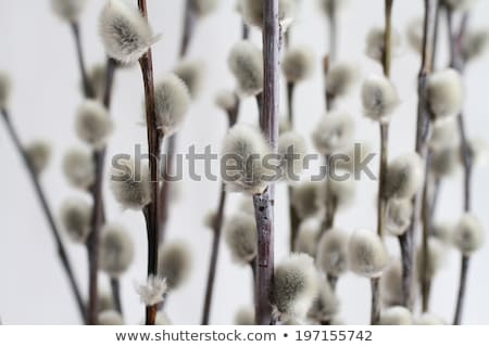 Blown pussy willow branch Stock photo © maxsol7