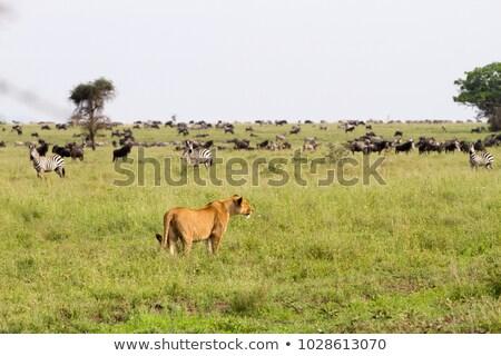 Vadászat szerkeszthető nyáj gradiens természet oroszlán Stock fotó © Tawng