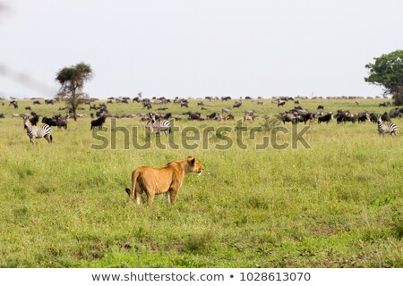 Jacht kudde helling natuur leeuw Stockfoto © Tawng